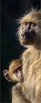 Baboon Mother and Baby (97).jpg