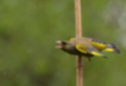 Greenfinch in rain by Peter Seaman