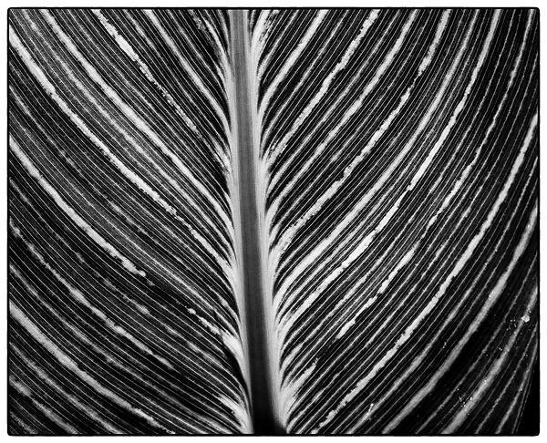 Black and White Leaf by Rachel Marfell.jpg