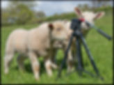 Lambs with a tripod