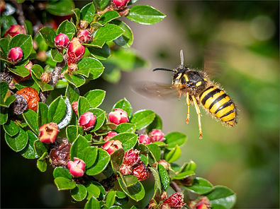 Wasp on Cotoneaster by Lin Wyles
