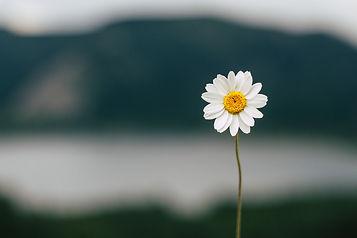 daisy-5383056_1920.jpg