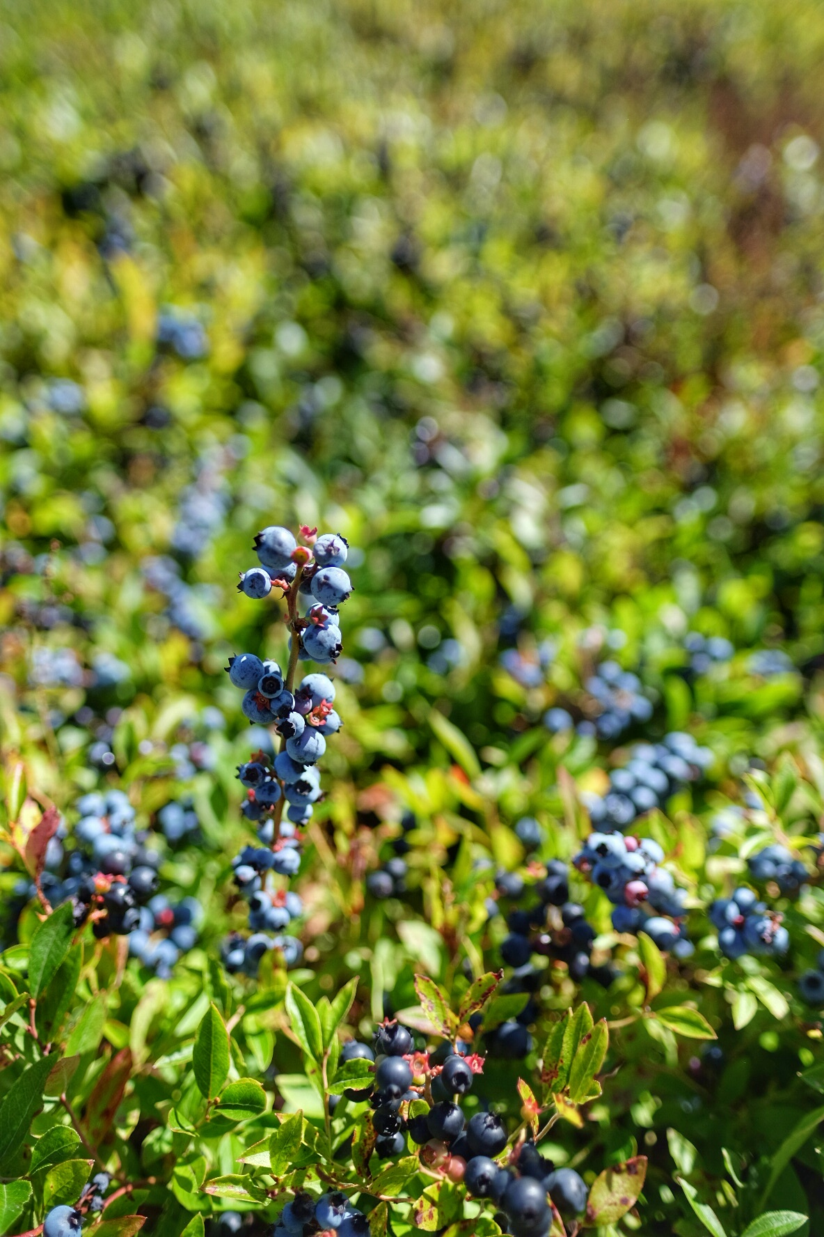 Wild Blueberries of Nova Scotia