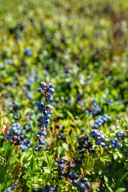 Wild Blueberries of Nova Scotia
