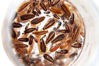 Cockroaches 33.jpg