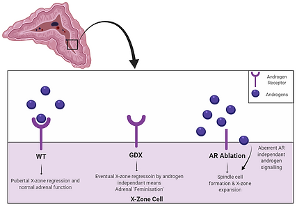 Adrenal Figure for male arko blog (1).PN