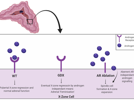 Androgen signalling in the adrenal cortex