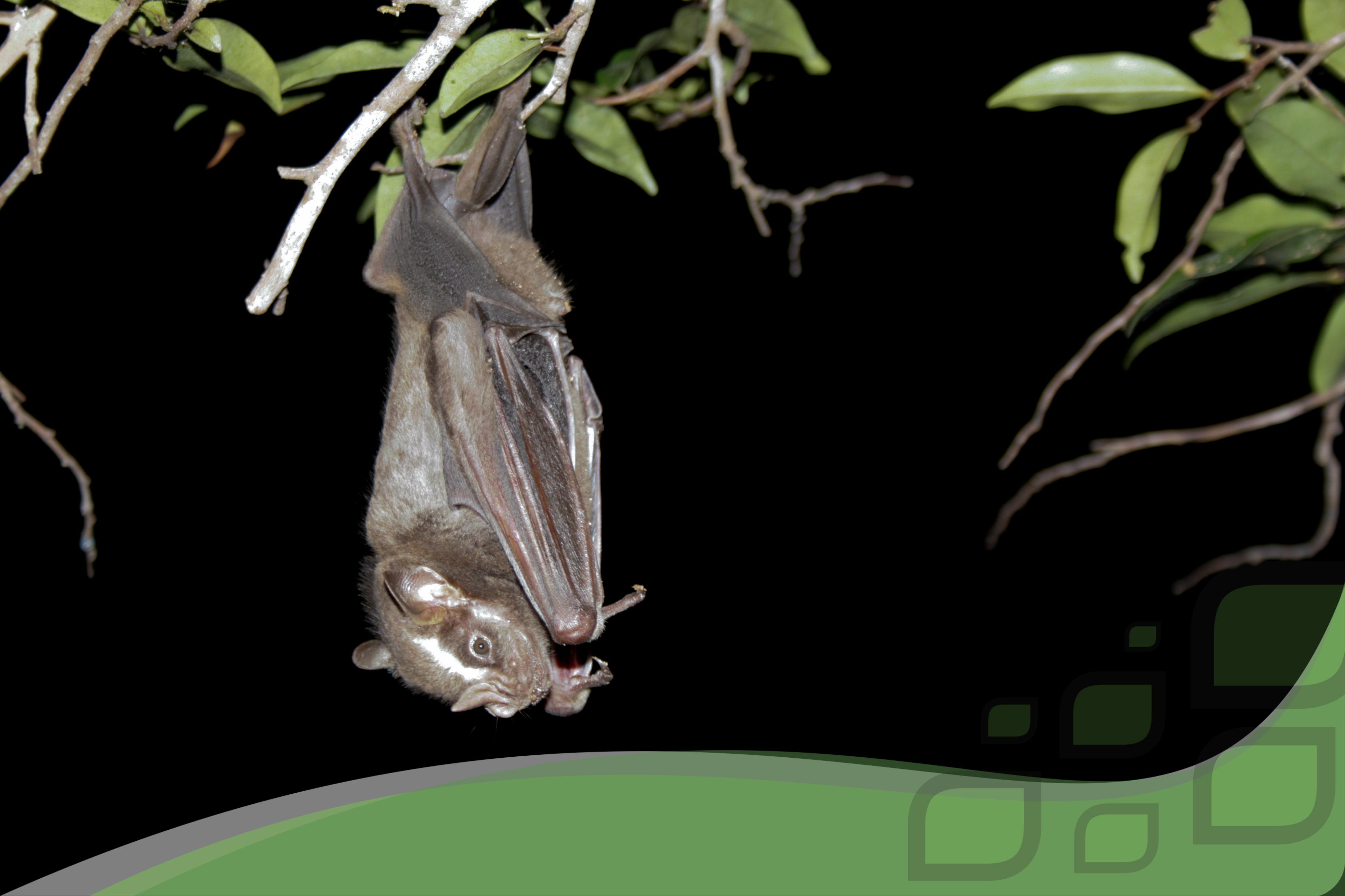 Monitoramento morcegos