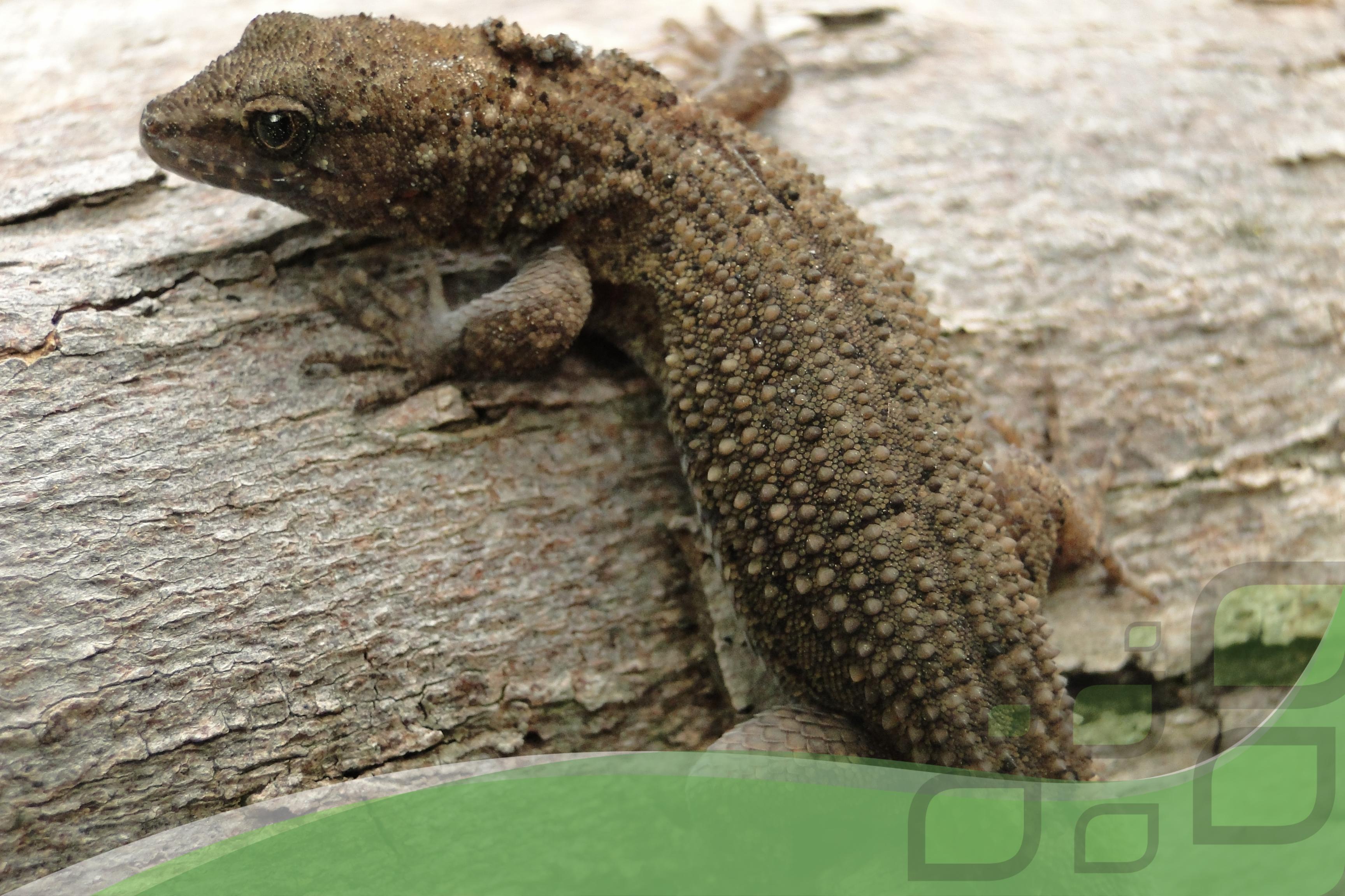 Gymnodactylus gekkoides