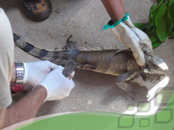 I. iguana em proced. veterinário