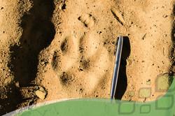 Pegada Puma concolor