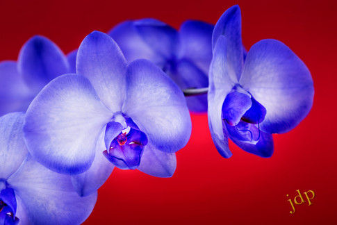Lilac Orchids