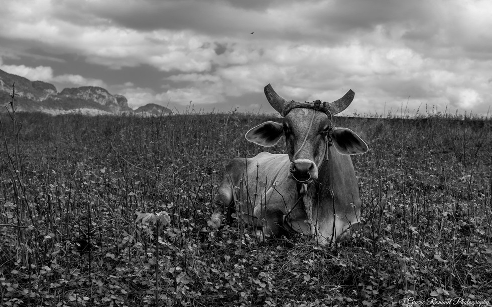 The cool Cow