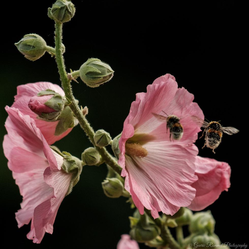 Two Honeybees