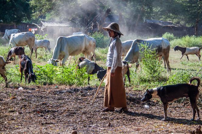 Shepherdess in Myanmar
