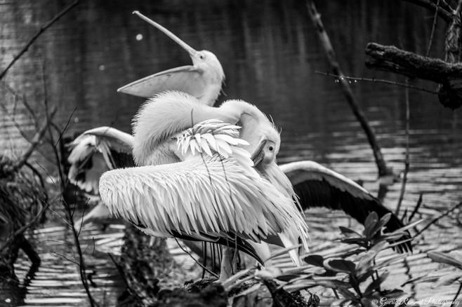 A Pelican Couple