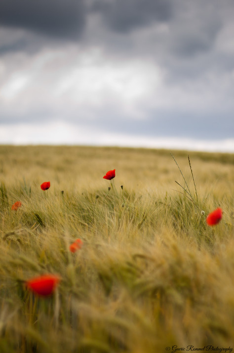 Poppies in the Thunderstorm