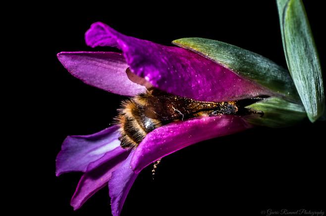 A Bumblebee's Butt