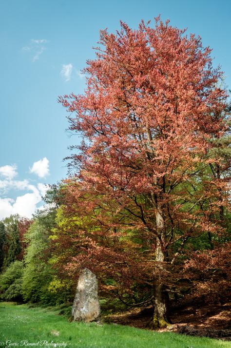 Menhir and Beech Tree