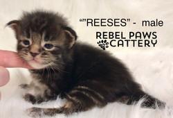 Litter L - Reeses 1