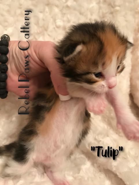 Litter D- Tulip 1