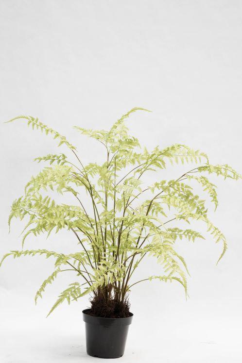 Pflanze im Topf Farn Grün 156cm