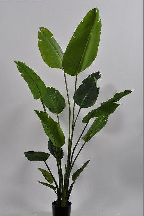 Pflanze Strelizia Grün 150cm