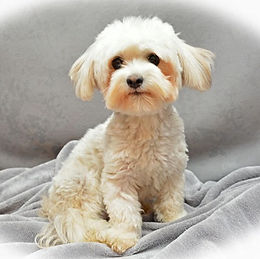 Weylin Marsh Havanese Female Perry
