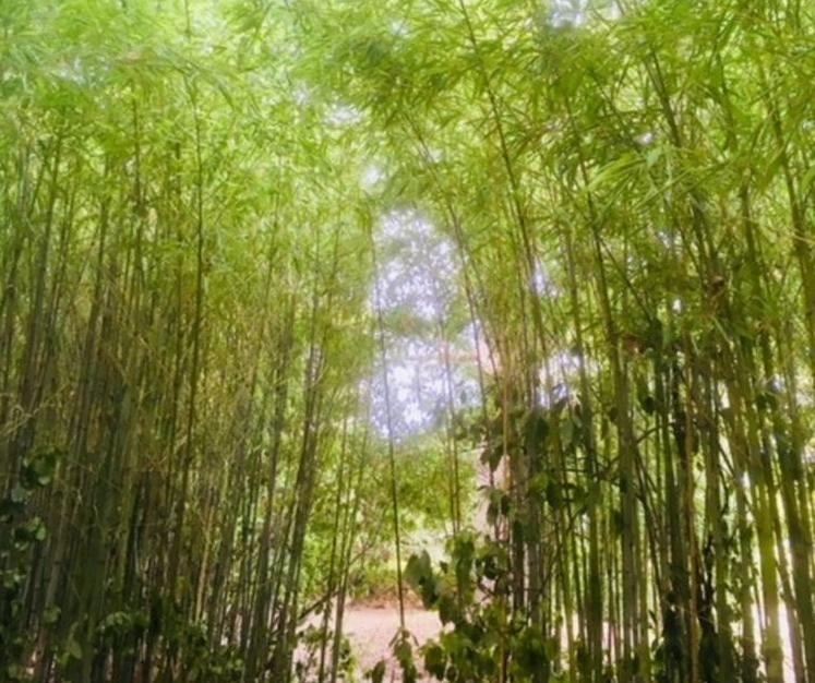 Bamboo garden bambouseraie