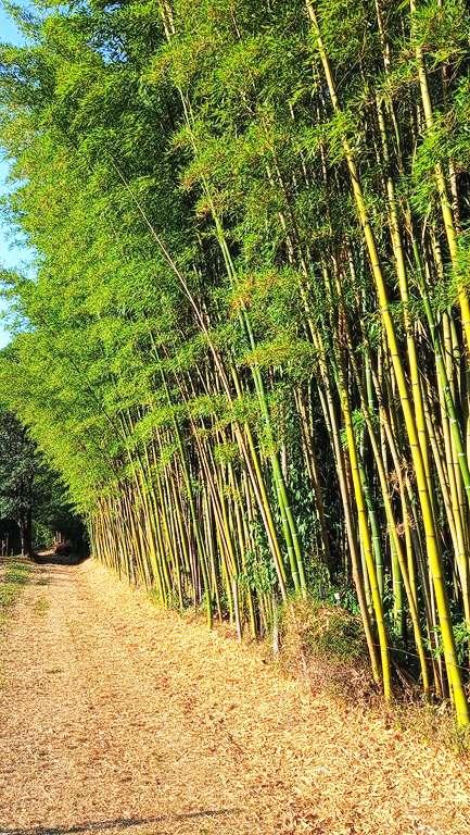 foret de bambou geant