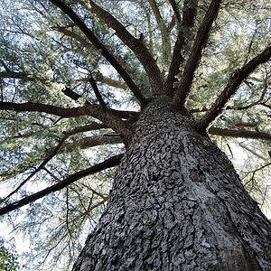 huge old cedar tree in villa de lablac property