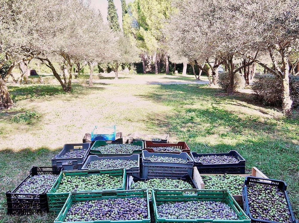 350 kg of olives