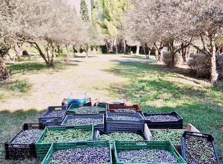 Olives harvest  / La Récolte d'olives