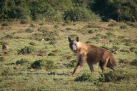 brown hyena (!)