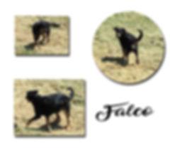 Falco copie.jpg