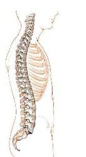coluna vertebral em perfil.JPG