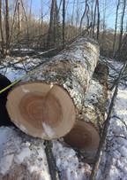 Massive birch log