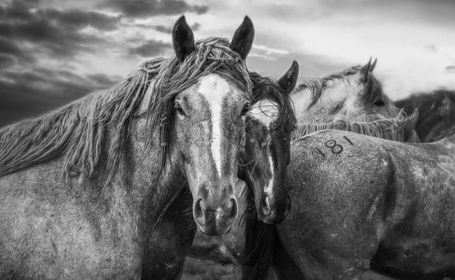 """Number 181"" by Stasser; 2 horses in black & white"