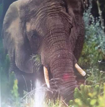 The Knysna Elephants - Open Letter to the Minister of Environment and The Minister of Tourism.