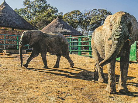 Joburg Zoo declines JV's offer of R1 million to buy three elephants in captivity