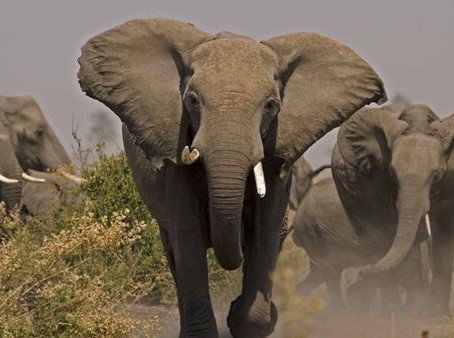 Open Letter to the Honourable President of Botswana Mr Mokgweetsi about the Culling of Elephants.