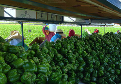 Green Pepper Packing May 7 2014_edited.JPG