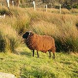 hebridean x cheviot sheep
