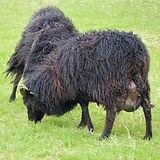 hebridean ewe with full udder