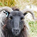 Hebridean x Scottish blackface sheep