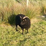 hebridean sheep in the sun