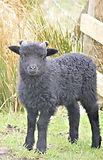 hebridean ram lamb