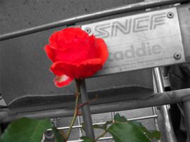 rosesncf.jpg