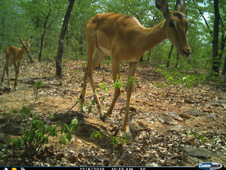 Camera Trapping: an efficient noninvasive technique for wildlife monitoring.