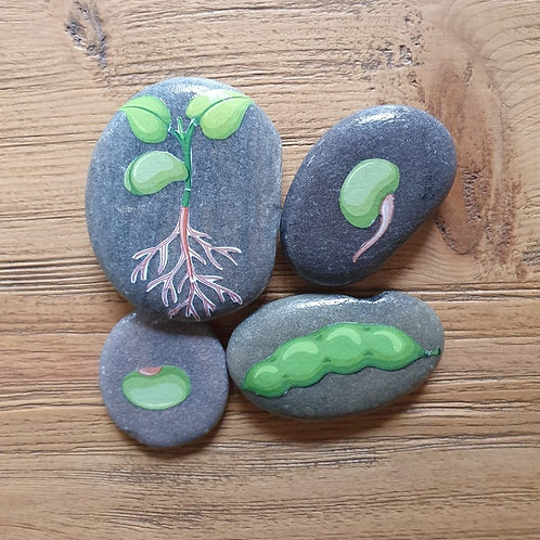 Story Stones - Life Cycle Bean